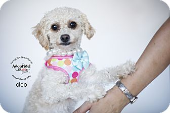 Miniature Poodle Mix Dog for adoption in Aqua Dulce, California - Clio