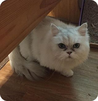 Persian Cat for adoption in Hazlet, New Jersey - Jazz