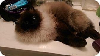 Himalayan Cat for adoption in Ogden, Utah - Dexter