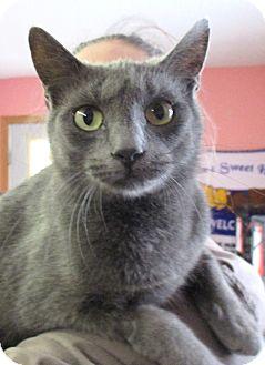 Russian Blue Cat for adoption in Reeds Spring, Missouri - Katarina