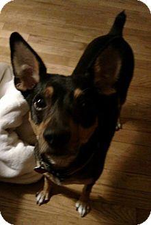 Rat Terrier Mix Dog for adoption in Laingsburg, Michigan - Cracker