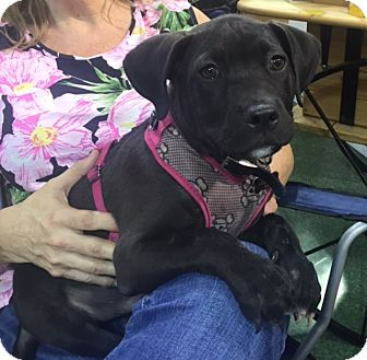 Labrador Retriever/American Pit Bull Terrier Mix Puppy for adoption in Palm City, Florida - Hercules