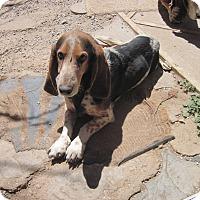Adopt A Pet :: Buddy Portales - Albuquerque, NM