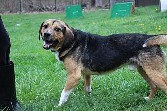 Beagle/Norwegian Elkhound Mix Dog for adoption in Sparta, New Jersey - JR