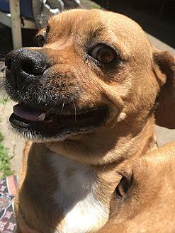 Beagle/Pug Mix Dog for adoption in Springdale, Arkansas - BooBoo