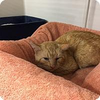 Adopt A Pet :: Morris - Harrison, NY