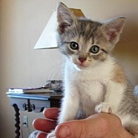 Adopt A Pet :: Ba Litter - Glacier - Williamston, MI
