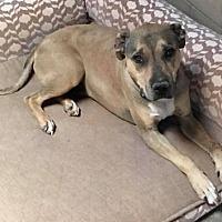 Adopt A Pet :: Ruger - Tucson, AZ