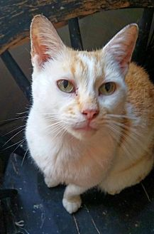 Domestic Shorthair Cat for adoption in Knoxville, Tennessee - Steven Lucky