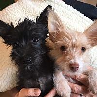 Adopt A Pet :: BEN - Palm Desert, CA