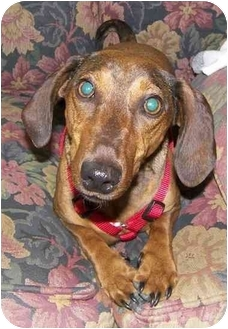 Dachshund Dog for adoption in All of New England, Connecticut - Storm