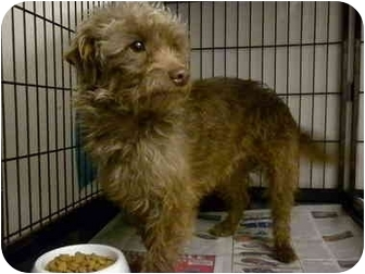Poodle (Miniature)/Cairn Terrier Mix Dog for adoption in Shelbyville, Kentucky - Jullian