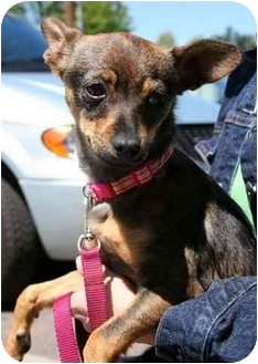 Chihuahua Mix Puppy for adoption in Phoenix, Oregon - Wiggles