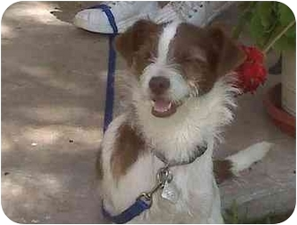 Jack Russell Terrier Mix Puppy for adoption in Houston, Texas - Teddy in Alvin