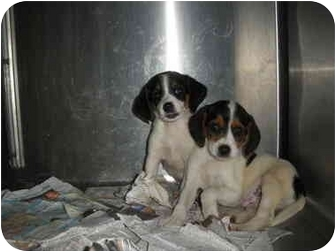 """Beagle Mix Puppy for adoption in MARION, Virginia - """"Micky"""" and """"Cooper"""""""