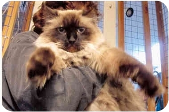 Ragdoll Cat for adoption in Davis, California - Harrison