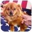 Photo 3 - Pomeranian/Pekingese Mix Dog for adoption in Osseo, Minnesota - Sunny