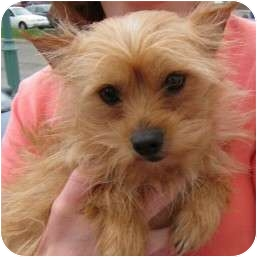 Yorkie, Yorkshire Terrier/Chihuahua Mix Dog for adoption in Richmond, Virginia - Daphne