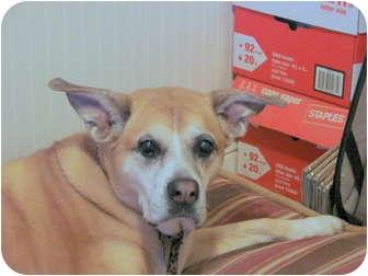 Boxer/Shepherd (Unknown Type) Mix Dog for adoption in Chandler, Arizona - Photon