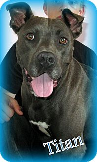 Pit Bull Terrier Mix Dog for adoption in Evansville, Indiana - Titan