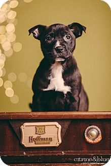 American Pit Bull Terrier Mix Puppy for adoption in Portland, Oregon - Renesmee