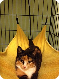 Domestic Shorthair Kitten for adoption in Monroe, Georgia - Peaches
