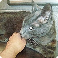 Domestic Shorthair Cat for adoption in Wheaton, Illinois - Shadow