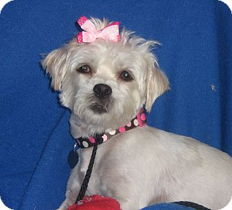 Maltese/Cairn Terrier Mix Dog for adoption in Irvine, California - Avril-WATCH MY VIDEO