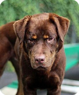 Shepherd (Unknown Type)/Rottweiler Mix Dog for adoption in Port Washington, New York - Sinbad