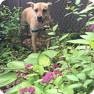 Labrador Retriever Mix Dog for adoption in Boston, Massachusetts - Goldie