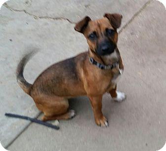 Dachshund Mix Dog for adoption in Gustine, California - HONEY