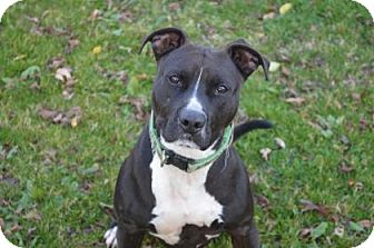 American Pit Bull Terrier Mix Dog for adoption in Monroe, Michigan - Miss