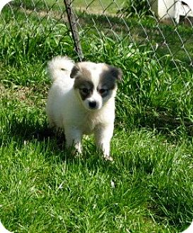 Great Pyrenees Mix Puppy for adoption in Westwood, New Jersey - Delilah