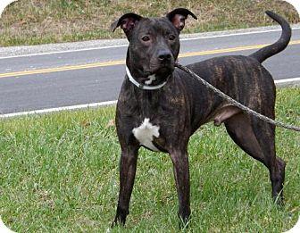 Pit Bull Terrier/American Staffordshire Terrier Mix Dog for adoption in Batavia, Ohio - Magi