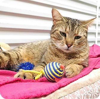 Domestic Shorthair Cat for adoption in St. Francisville, Louisiana - Hugo