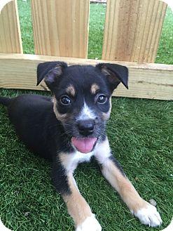 Shepherd (Unknown Type) Mix Puppy for adoption in San Francisco, California - Victoria