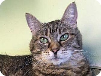 Domestic Longhair Cat for adoption in Indianapolis, Indiana - Nova