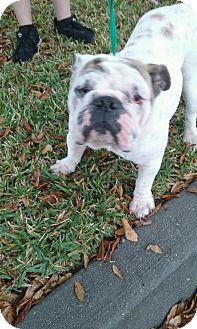 English Bulldog Dog for adoption in Sanford, Florida - Scarlett
