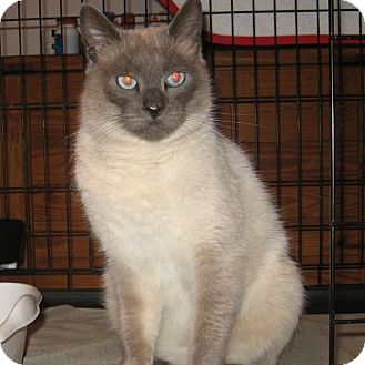 Siamese Cat for adoption in Galloway, New Jersey - Sebastian