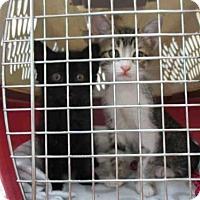 Adopt A Pet :: STORMY - Fort Walton Beach, FL