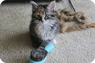 Domestic Mediumhair Kitten for adoption in Lexington, Kentucky - Hermione