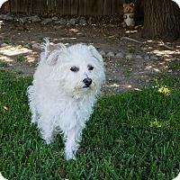 Adopt A Pet :: Lacey - San Dimas, CA