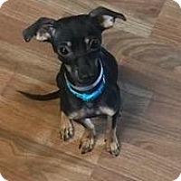 Adopt A Pet :: Inga - Fort Collins, CO