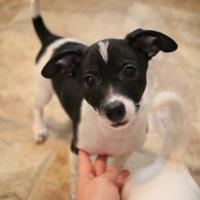 Adopt A Pet :: Stevie - justin, TX