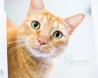 Domestic Shorthair/Domestic Shorthair Mix Cat for adoption in Reisterstown, Maryland - Rusty