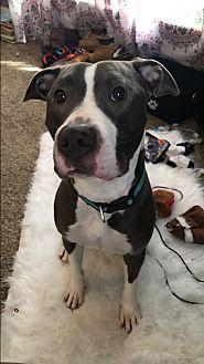 Pit Bull Terrier Mix Dog for adoption in Laingsburg, Michigan - Jack