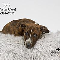 Adopt A Pet :: Josie  (Foster Care) - Baton Rouge, LA