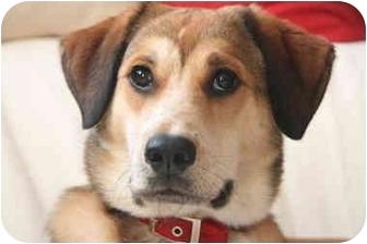 Labrador Retriever Mix Puppy for adoption in Long Beach, New York - Molly