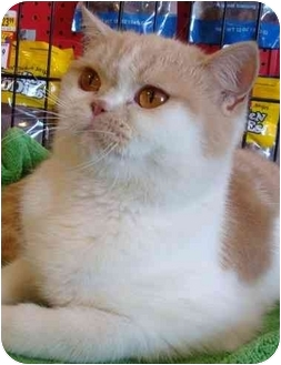 Persian Cat for adoption in Beverly Hills, California - Kittybunny
