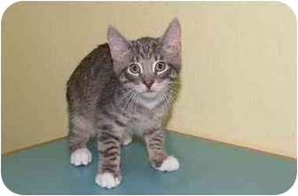 Domestic Shorthair Kitten for adoption in Englewood, Florida - Ronnie